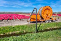 Pumpendes Wasser der landwirtschaftlichen Sprinkleranlage von Abzugsgraben zu Tulpen Stockbild