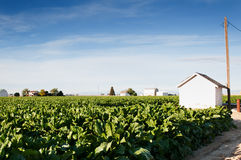 Pumphouse and Sugarbeets In Central Colorado. Sugarbeet field in central Colorado, USA with a white pumphouse Stock Photography