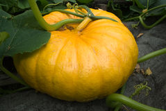 Pumpkin. Large ripe pumpkin growing in a garden Royalty Free Stock Photos