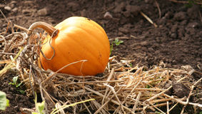 Pumpkin. Growing in garden ready to be harvested Stock Images