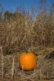 Pumpkin. Single pumpkin in a field Stock Image