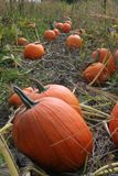 Pumpkin. A pumpkin patch ready for the harvest Stock Image
