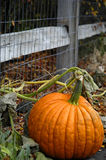 Pumpkin. Close to fence in  patch Stock Image