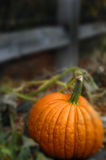 Pumpkin. Close to fence in  patch Royalty Free Stock Photography