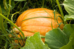 Pumpkin Royalty Free Stock Image