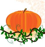 Pumpkin. On a white background is a big ripe pumpkins Royalty Free Stock Images
