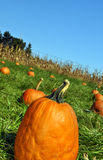 Pumpkin. Patch with many s Royalty Free Stock Photo