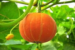A pumpkin Royalty Free Stock Photography