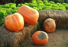 Pumpkin. Diet eat grass  decoration delicious pumpkin thailand Stock Photo