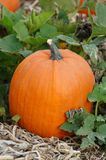 Pumpkin. A pumpkin in a pumpkin patch royalty free stock image