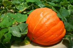 PUMPKIN Royalty Free Stock Photo