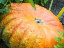 Pumpkin. Big pumpkin growing on a pumpkin patch stock photo