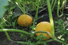 Pumpkin Royalty Free Stock Photos