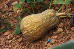 Pumpkin. Annual herbaceous climbing plant, the cross section of stem in five angle, leaves the heart shape, yellow trumpet-shaped flowers, fruit round or pear Royalty Free Stock Image