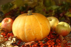 Pumpkin and apples. Autumn still life of pumpkins, apples and berries rowan Royalty Free Stock Photos