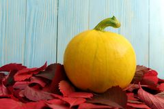 The autumn yellow squash lies in the leaves stock image
