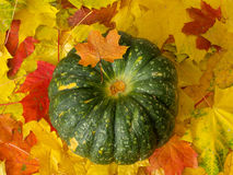 Pumpkin on autumn leaves. Big green pumpkin on colorful on maple leaves royalty free stock image