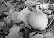 Pumpkin among autumnal sycamore leaves Stock Photos