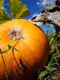 Pumpkin on background of blue sky royalty free stock photos