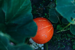 Pumpkin on a bed. Big orange pumpkins growing in the garden bed Royalty Free Stock Photo