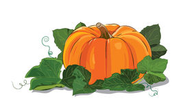Pumpkin. A big ripe pumpkin green pumpkin leaves Stock Photo