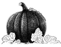Pumpkin. Black and white ink illustration of pumpkin Stock Photo