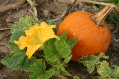 Pumpkin and Blossom. Pumpkin blossom and pumpkin Royalty Free Stock Image