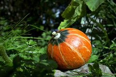 Pumpkin in bright sunshine Royalty Free Stock Image
