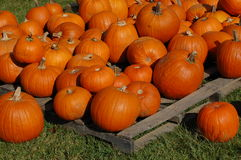 Pumpkin. Bunches of pumpkins for Halloween Royalty Free Stock Photos