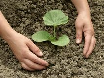 Pumpkin care. Hands earthing young pumpkin seedling Stock Image