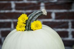 White pumpkin with yellow chrysanthemums. Close up of white pumpkin with yellow chrysanthemum flowers stock images