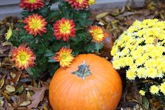 Pumpkin with chrysanthemums and leaves royalty free stock image