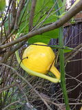 Pumpkin climbed a tree Stock Photography