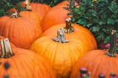 Pumpkin closeup. Harvest pumpkins closeup lying with each other Stock Images
