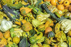 Pumpkin. A colorful and differnt shapes pumpkins, Cucurbita pepo Royalty Free Stock Images
