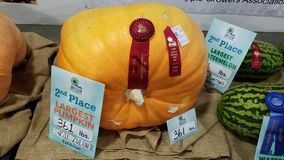 Largest pumpkin second place royalty free stock images