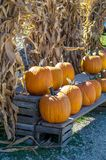 Pumpkin and cornstalk Halloween decorations. Natural corn stalks and bright orange pumpkins make wonderful Halloween decorations Stock Photos