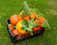 Pumpkin crate Royalty Free Stock Photos