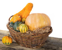 Pumpkin crop autumn Stock Images