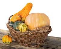 Pumpkin crop autumn Stock Images