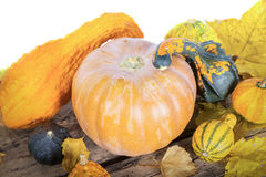 Pumpkin crop autumn Stock Photography
