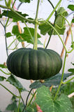 Pumpkin crop Royalty Free Stock Image