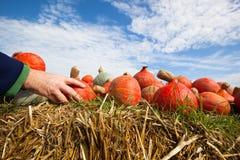 Pumpkin crop Royalty Free Stock Photo