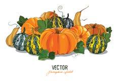 Pumpkin. Crop large ripe pumpkins. Pumpkin field Stock Image
