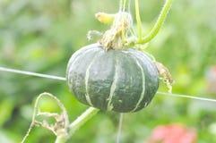 Pumpkin or Cucurbita moschata Decne in the vegetable garden Royalty Free Stock Photos