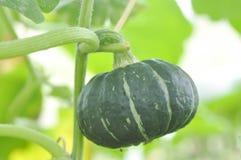Pumpkin or Cucurbita moschata Decne in the vegetable garden Royalty Free Stock Image