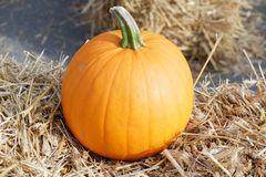 Pumpkin in the garden. A pumpkin is a cultivar of a squash plant, most commonly of Cucurbita pepo, that is round, with smooth, slightly ribbed skin, and deep stock photo