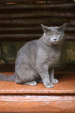 cute gray cat Royalty Free Stock Images