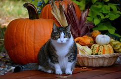 PUMPKIN DECOR WITH CAT. CHUBBY CAT POSING FOR A PHOTO WITH THE PUMPKINS AND SQUASH Stock Images