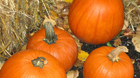 PUMPKIN DISPLAY. Assortment of fall pumpkins food Royalty Free Stock Image